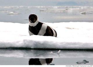 Ba_ice_seals_ak